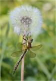 Hairy Dragonfly (female)