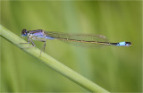 Blue-Tailed Damselfly, female violacea form.