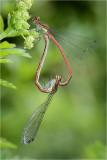 Mating Large Red Damselflies