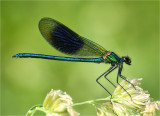 Banded Demoiselle, male