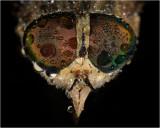 Female Dark Giant Horsefly