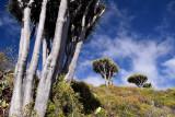 Drago trees, Las Tricias