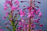 Alplie flower near Fiescheralp