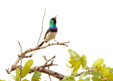 SA_02132-White-bellied-Sunbird.JPG