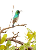 SA_02134-White-bellied-Sunbird.JPG