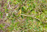 SA_02136-Yellow-fronted-Canary.JPG