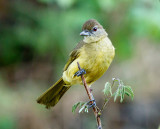 SA_03012-Yellow-bellied-Greenbul.JPG