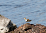 SA_03130-Common-Sandpiper.jpg
