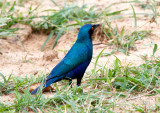SA_03178-Greater-Blue-eared-Starling.jpg