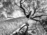 Baobab Tree (Adansonia)