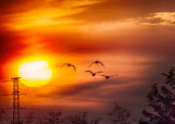 Greylag Geese at Sunset