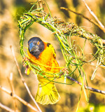 Village weaver (Ploceus cucullatus) - Building the Frame