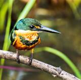 Female American Pygmy Kingfisher (Chloroceryle Aenea)