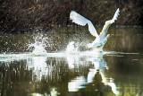 Mute swan (Cygnus olor) ... Take-off