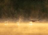 Cormorant Dawn Takeoff