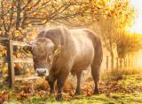 Bull in the Fog