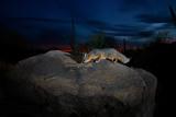 gray_fox
