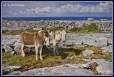 Ireland - Co.Clare - The Burren - Donkeys taking it easy.