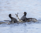 Common coot PSLR-3748