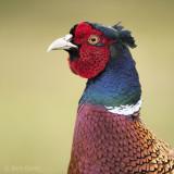 common pheasant (Phasianus colchicus)  PSLR-5179
