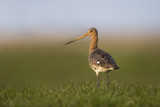 Grutto - Blacktailed godwit