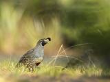 California quail KPSLR-4003