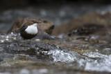 Cinclus cinclus - White-throated dipper - Waterspreeuw