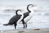 Phalacrocorax varius - Australian pied cormorant - bonte aalscholver