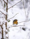 Erithacus rubecula - European Robin- Roodborst