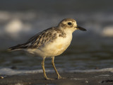 Charadrius obscurus - New Zealand Plover - Rosse Plevier