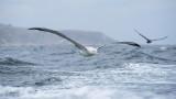 Diomedea exulans -Wandering Albatross - Grote albatros