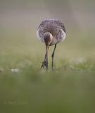 Limosa limosa - Black-tailed godwit - Grutto