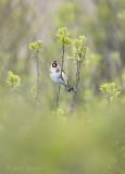 Carduelis carduelis - Goldfinch - Putter