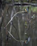 Alcedo atthis - Common kingfisher - ijsvogel