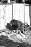 A bear came into the back yard