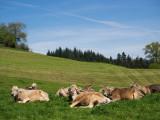 cows_in_switzerland