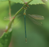 Small Emerald Damselfly
