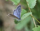 Scarce Large Blue