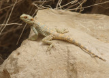 Rough-tail Rock Agama