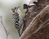 Japanese Pygmy Woodpecker ssp seebohmi
