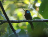 Blue-necked Jacamar