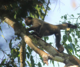 Geoffroy's Woolly Monkey