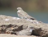 Sand-colored Nighthawk