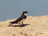 Black-collared Swallow