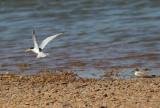 Yellow-billed Tern