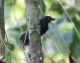 Rondonia Bushbird