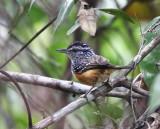 Peruvian Warbling Antbird