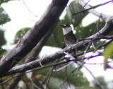 Brown-banded Puffbird