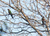 Bonaparte's Parakeet