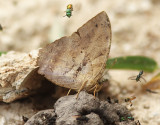 Leafwing sp.